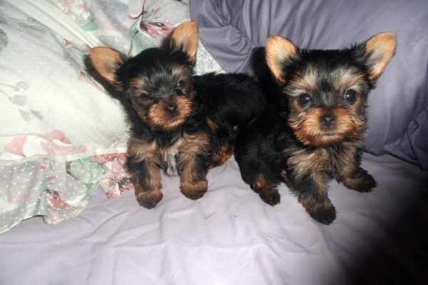 Yorkie Pupies 1 - Edited