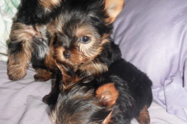 yorkie pupies - Edited